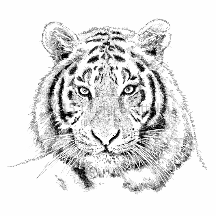 tigre-2